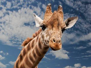 giraf i berlin Zoo
