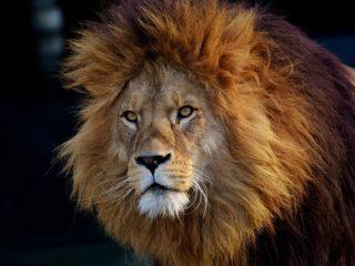 Løve i berlin Zoo
